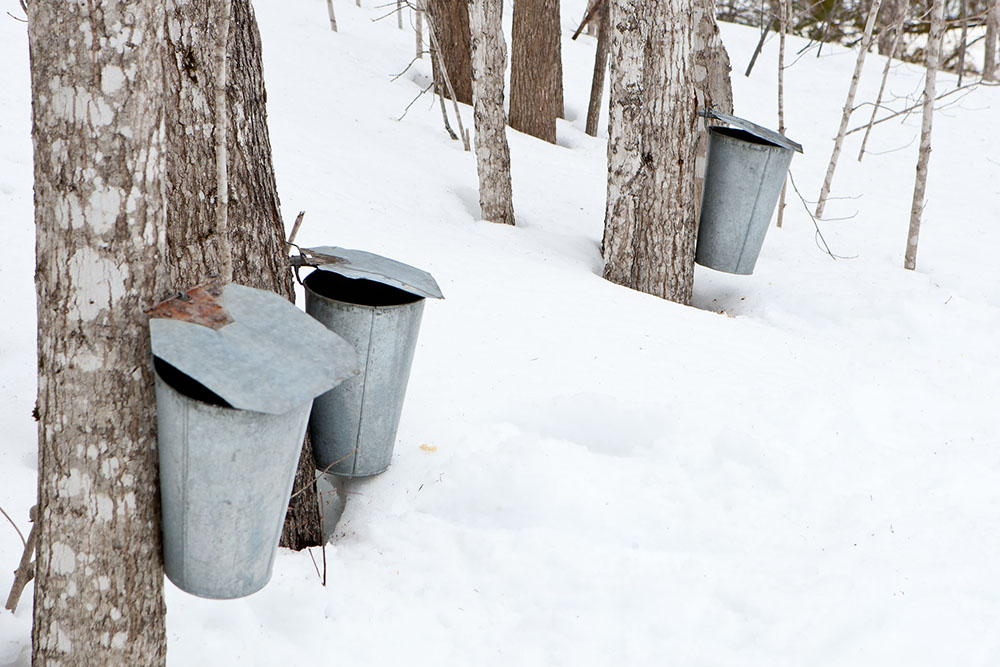 Cans hang from maple trees, slowly filling up with fresh sap